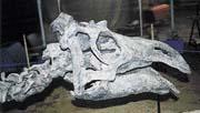 Pravá kostra maiasaury - měří osm metrů