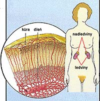 Nadledviny jsou žlázy s vnitřní sekrecí umístěné bezprostředně nad ledvinami, kde sedí jako čepičky na vrcholu obou ledvin.