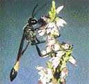 Při pohledu na kutilku písečnou sající nektar je těžké uvěřit, že pro své potomky zajišťuje úplně jinou potravu