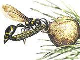 Jízlivka Eumenes coarctatus přináší do připraveného hnízda ochromenou housenku