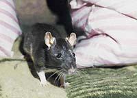 Potkan je jako pes, který neštěká. Je vděčný za každou chvilku s vámi
