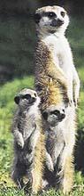 Kolonie nikdy nezůstává nehlídaná, některá ze surikat vždy bedlivě střeží okolí. V tomto případě se k hlídce připojila i dvě odrostlá mláďata
