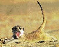 Vztyčený ocásek surikaty signalizuje její vzrušení, široce rozevřená tlama odhaluje nebezpečně ostré zuby
