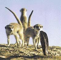 S vyhrbenými hřbety útočí surikaty na nebezpečnou kobru