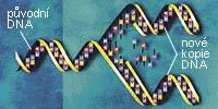 Dvouřetězcová struktura DNA nabízí elegantní řešení pro dělící se buňku, která stojí před nutností zdvojit svou genetickou informaci.