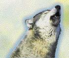 """Nejčastěji používanou vlčí """"řečí"""" je vytí, vlci se jím dorozumívají i na značné vzdálenosti"""