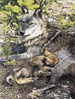 Vlčice kojící své mládě
