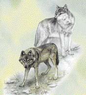 Vlk polární a vlk eurasijský se od sebe liší nejen zbarvením, ale i velikostí