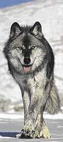 Uši a oči směřující dopředu umožňují vlkovi dokonalou prostorovou orientaci a přesné zamíření útoku
