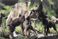 Jeden z nejvzácnějších poddruhů, vlk mexický, byl v přírodě vyhuben a chová se již jen v zajetí