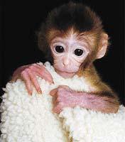Opička Tetra se narodila z uměle rozděleného zárodku