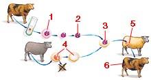Proces klonování ovce