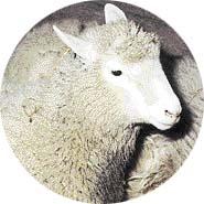 Ovce Dolly byla v roce 1996 prvním zvířetem naklonovaným z buňky dospělého jedince