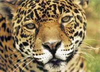 Kruhová zornička oka je typická pro velké kočky