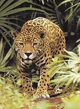 Životním prostředím jaguárů je prales, v otevřené krajině loví jen zřídka