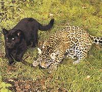 Mezi normálně zbarvenými jaguáry se vyskytují i melanistická, tj. černě zbarvená zvířata