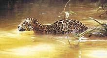 Jaguár je doma ve vodě stejně jako na souši