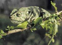 Chameleon obecný je jediný druh, který žije i v Evropě