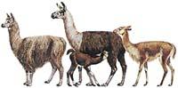 Lama alpaka, Lama krotká, Lama vikuňa
