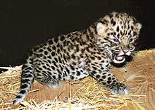 Drahé kotě - mládě levharta mandžuského, nejohroženějšího poddruhu; v přírodě žije posledních asi čtyřicet zvířat
