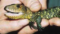 Dracéna quayanská se v zajetí rozmnožuje pouze v pražské zoo