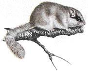 Plch lesní - Dryomys nitedula