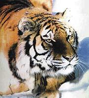 Válka o tygry