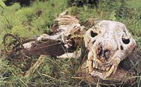 Smutné svědectví - pozůstatky tygra chyceného do pytlácké pasti