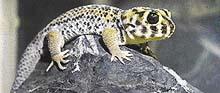 Teratoscinkové jsou malí, ale robustně stavění ještěři s krátkým silným ocáskem