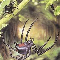 Černá vdova může mít červenou skvrnu i na břišní straně