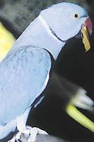 Modrá mutace alexandra byla první, která se rozšířila u chovatelů