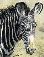 Jakou barvu má zebra?
