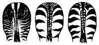 Podle tvaru , šířky a hustoty pruhů lze dobře rozlišit jednotlivé druhy zeber: zebra Grévyho; zebra horská; zebra Böhmova