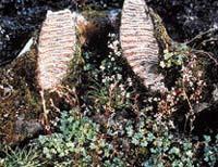 Mamutí stoličky se téměř ztrácejí mezi nízkou vegetací