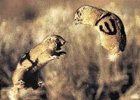 Zoology označení psouní samci bojují o teritorium a samičky