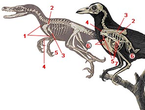 Společné znaky na kostře ptáků a dinosaurů