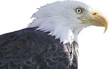Orel bělohlavý je hrdým vládcem aljašského nebe