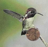 Kolibřík kubánský (Mellisuga helenae) ve skutečné velikosti
