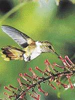 Mezi nejmenší patří i kolibřík světélkující (Selasphorus scintilla) - měří 6 - 7 cm. Ostatní kolibříci ho považují za hmyz, takže může beztrestně loupit nektar z jejich květů
