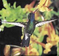 Kolibřík širokozobý (Cynanthus latirostris)