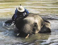 Koupání patří k nejoblíbenějším činnostem slonů
