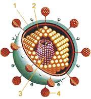 Virus HIV způsobující AIDS je velmi proměnlivý, což boj proti němu nesmírně komplikuje