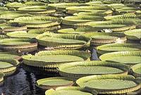 Český botanik objevil největší leknín světa, viktorii královskou. Vyobrazená Victoria cruziana je doma  ve stejných oblastech a listy má jen o něco menší