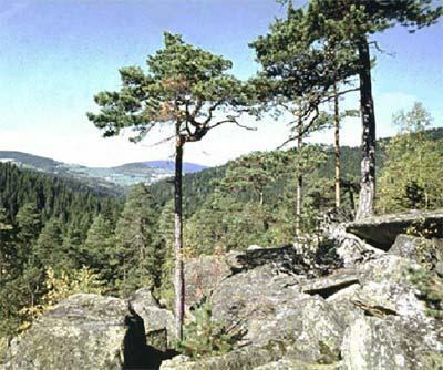 Reliktní bor na žulových skalách u Dobříše [Zdroj:archiv autora ...