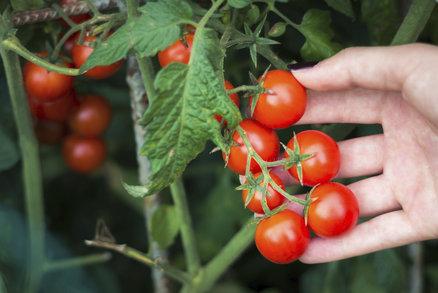 Chcete v létě sklízet rajčata z balkonu? Tyto odrůdy je nejvyšší čas zasadit