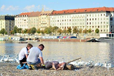 Labutí zátoka vyčištěna: Dobrovolníci z Vltavy vynesli pytle plné plastu, plechovek i injekční stříkačku