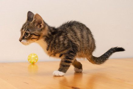 Koťátka se narodila bez nohou a neměla moc šancí na přežití. Teď se odráží jako klokani