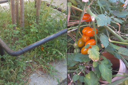 Červená rajčata místo psích výkalů? Na Žižkově se místní starají o zpustlé záhony před domy