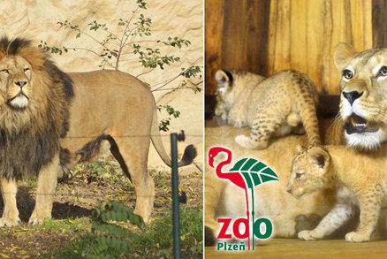 Rozkošné chlupaté kuličky! Už jste navštívili plzeňská lvíčata?