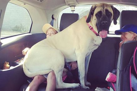 Když je pes větší než vy a chce pochovat! Tyhle fotky vás zaručeně pobaví!